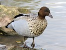 Male Australian Wood Duck (Slimbridge October 2012)